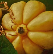 What odes garcinia cambogia look like